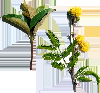 Harungana och cassia-blomma